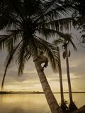 Silhouette boy climbing on palm tree Stock Photo