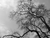 Silhouette branch dead tree. Black and white picture Royalty Free Stock Images