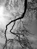 Silhouette branch dead tree. Black and white picture Stock Images