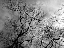 Silhouette branch dead tree. Black and white picture Stock Image