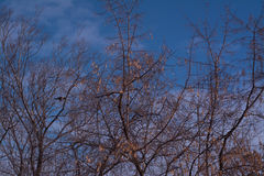 Silhouette branch tree on blue sky Stock Images