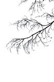 Silhouette branch white background Royalty Free Stock Images