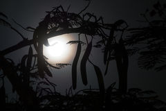 Silhouette of branches with long fruits against the night sky. Silhouette of branches with long pods against the night sky with full moon royalty free stock photos