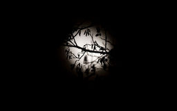 Silhouette of branches and moon Royalty Free Stock Photos