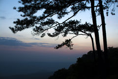 Silhouette branches of pine tree Royalty Free Stock Image