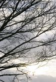 Silhouette branches Royalty Free Stock Image