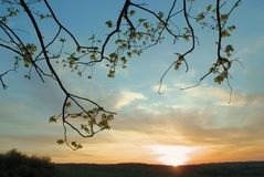 Silhouette of branches with young leaves at sky sunset Royalty Free Stock Image
