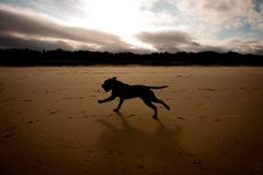 Silhouette Brown English Staffordshire Terrier Royalty Free Stock Photography