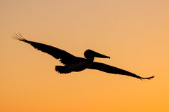 Silhouette of Brown Pelican flying at sunrise Stock Images