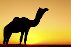 Silhouette of a camel. Stock Photography