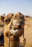 Silhouette of a Camel in the desert. Stock Images