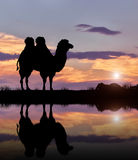 Silhouette of a camel Stock Photos