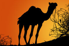 Silhouette of camel at sunrise. Black silhouette of a dromedary at sunrise artificial orange and yellow sky Stock Photos