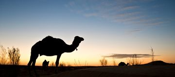Silhouette of a camel at sunset in the desert of Sahara, Tunisia. Silhouette of a camel at sunset in the desert of Sahara, South Tunisia Royalty Free Stock Photography