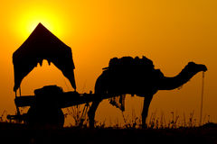 Silhouette camel at sunset in India . Stock Images