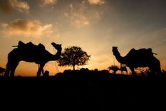 Silhouette of the Camel Trader crossing the sand dune during sunset. Royalty Free Stock Photos