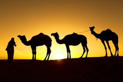 Silhouette of camels. Royalty Free Stock Photography