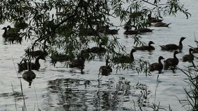 Silhouette of Canada Geese swimming at Sundown stock video footage