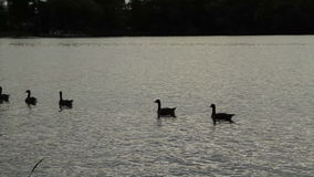 Silhouette of Canada geese swimming at sundown stock footage