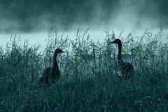 Silhouette canadienne d'oies Images libres de droits
