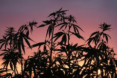 Silhouette of cannabis bushes against the background of sunset or dawn. Wild plants of the hemp family. Silhouette of cannabis bushes against the background of royalty free stock photography