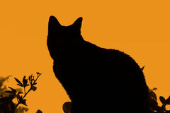 Silhouette cat. Black silhouette of black cat and plants against orange sky no features Royalty Free Stock Image