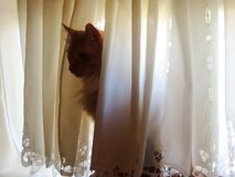 Silhouette of Cat in Window. Silhouette of cat sitting in the window behind a curtain Royalty Free Stock Photos