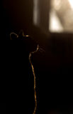 Silhouette of cat on window. Silhouette of a beautiful cat Royalty Free Stock Photo