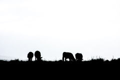 Silhouette of Cattle Grazing Royalty Free Stock Images