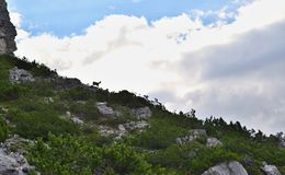 Silhouette of chamois on the horizon with a white-grey clouds in the background and green coniferous plants in the foreground. stock image