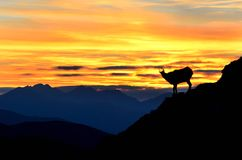 Silhouette of chamois in mountains Royalty Free Stock Images
