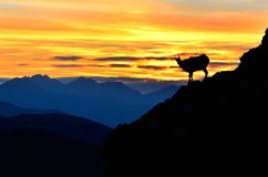 Silhouette of chamois in mountains. Stock Photos
