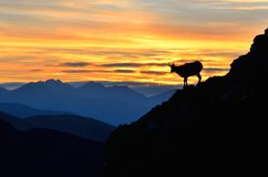 Silhouette of chamois in mountains. Royalty Free Stock Images