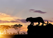 Silhouette of a cheetah on the hunt Stock Images