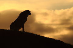 Silhouette of cheetah Stock Photos