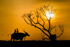 Silhouette of children on buffalos back and tree dead dry durin Stock Photos