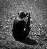 Silhouette of a chimpanzee, monkey Royalty Free Stock Image