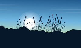Silhouette of coarse grass at morning scenery Royalty Free Stock Photography
