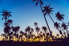 Silhouette coconut palm trees with sunset. Silhouette coconut palm trees with sunset and flare sky background royalty free stock photography