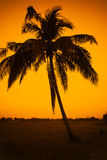 Silhouette of coconut tree Royalty Free Stock Images