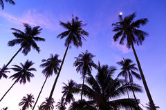 Silhouette of coconut trees Royalty Free Stock Photography