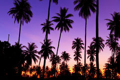 Silhouette of coconut trees Royalty Free Stock Images