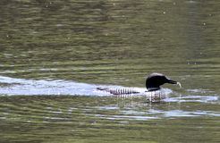 Silhouette Common Loon pair with fresh catch for baby royalty free stock photo