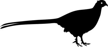 Silhouette of Common Pheasant. (wildfowl Stock Image