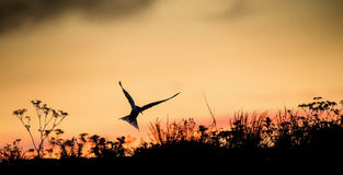 Silhouette of Common Terns on red sunset Sunset Sky. The Common Tern (Sterna hirundo). in flight on the sunset grass background. S Royalty Free Stock Photography