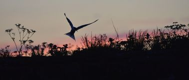 Silhouette of Common Terns on red sunset Sunset Sky. Stock Images