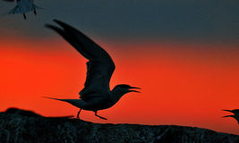 Silhouette of Common Terns (sterna hirundo) on red sunset background Royalty Free Stock Image
