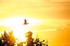 Silhouette of Cormorant Flying in the Dusky Sunset Sky Stock Photography