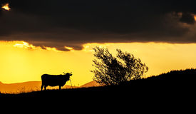 Silhouette of a cow on a hill at sunset Stock Photography