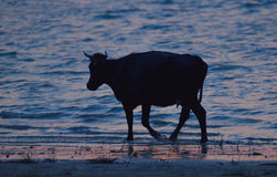 Silhouette of cow Stock Images